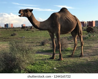 Wild camel in Marocco.