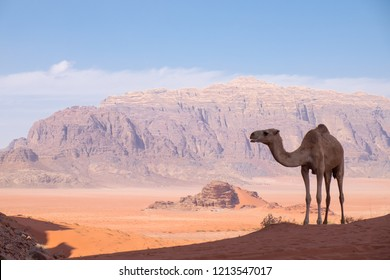 Wild camel standing on the sand dune with red, orange and white sand background  and arid rock mountain on a sunny day in Wadi Rum, Jordan