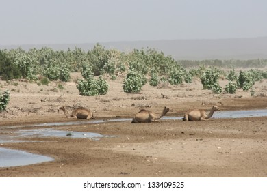 Wild camels rest near a desert riverbed in Ethiopia