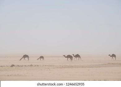 wild camels in sandstorm in Sahara desert
