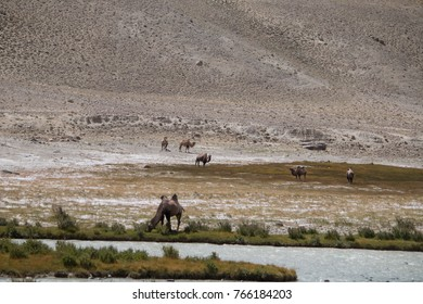 Wild camels, Wakhan Corridor, Afghanistan, Central Asia