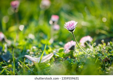 Wild camomile daisy flowers growing on green meadow