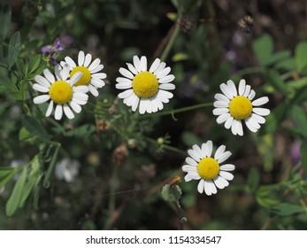 Wild Camomille Flowers