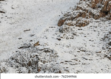 WILD Camouflaged Snow Leopard (Panthera Uncia) in Tibet resting on a mountain side