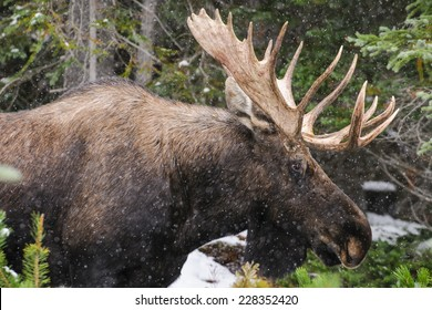 Wild Canadian Bull Moose with Antlers on a parkway roadside in the Snow in Autumn.