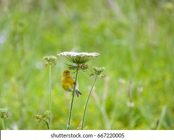 A wild canary in the Azores using a flower to shelter from the rain