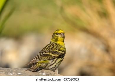 wild canary bird is thirsty.