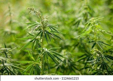 Wild cannabis growing in nature