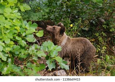 Wild cantabric bear (Ursus arctos arctos) in Asturias, Spain.