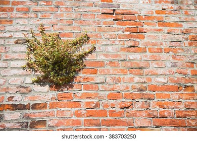 Wild capers plant against a brick wall - image with copy space
