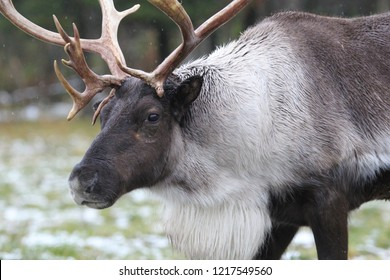 wild caribou from the north