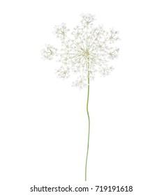 Wild carrot (Daucus carota) flower isolated  on white background.