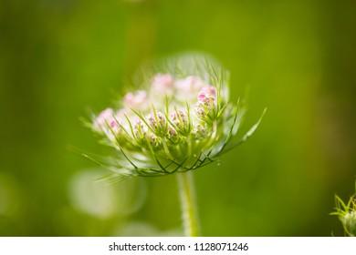 Wild carrot on wildflower meadow