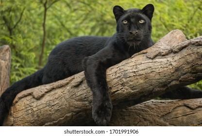 wild cat, black panther perched on a log