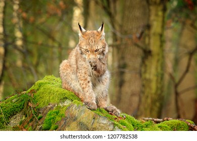 Wild cat cleaning paw. Lynx in the forest. Sitting Eurasian cat on green mossy stone, green in background. Wild cat in theIr nature habitat, Poland, Europe.
