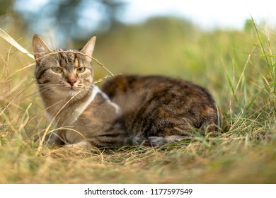 Wild Cat with collar sitting in the grass