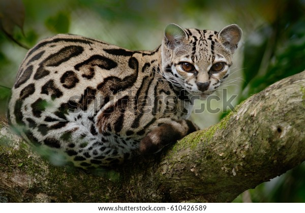 Wild cat from Costa Rica. Margay, Leopardis wiedii, beautiful cat sitting on the branch in the tropical forest, Central America. Wildlife scene from tropical nature. Travelling in Costa Rica.