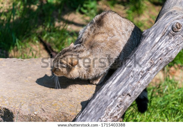 Wild cat in the enclosure, eating