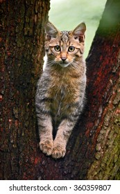 Wild Cat, Felis silvestris, animal in the nature tree forest habitat, Central Europe.