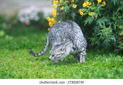 wild cat hunting on the garden
