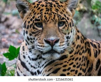 Wild cat jaguar