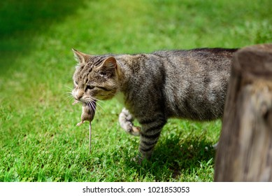 A wild cat keeps a little mouse into the jaws on the green lawn.