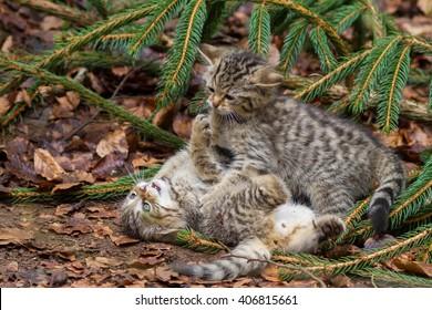 wild cat kittens fighting