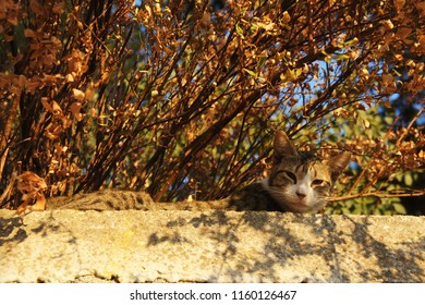 Wild cat napping on the wall under the bush with yellow and red leaves