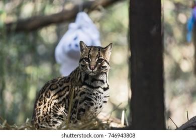 A wild cat o Ocelot  (Leopardus pardalis)