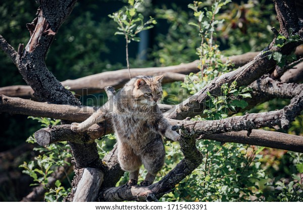Wild cat on a tree and looking for prey