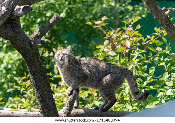 Wild cat on a tree in the Zoo