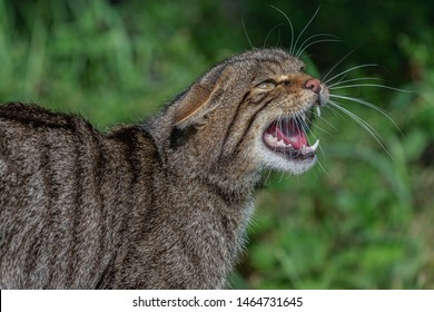 Wild cat with open mouth