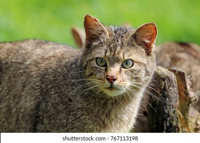 Wild cat portrait