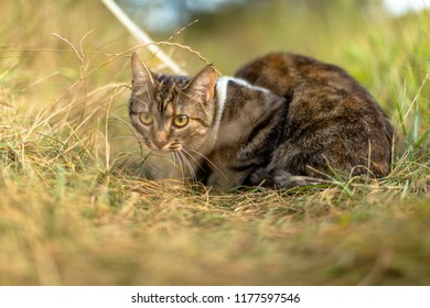 Wild Cat sitting in the grass with collar on him