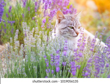 Wild cat is sitting in lavender field. Sunset lights over blooming lavander flowers.