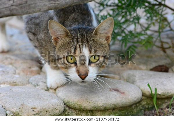 Wild Cat Watchful Waiting Stock Photo (Edit Now) 1187950192
