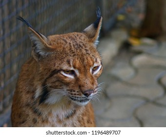 the wild cat at zoo