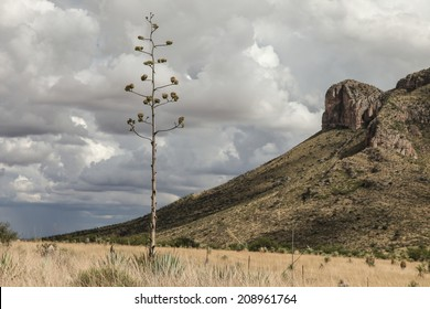 Wild Century Plant cactus in bloom on semi-desert grassland after summer rain/Agave Americana with Blossom Stalk/Wild flowering long stalk of Agave cactus plant