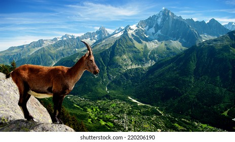 wild chamois on top of the valley of Chamonix, France
