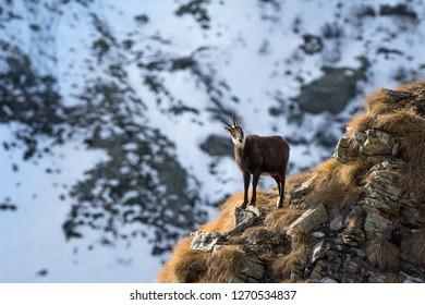 Wild chamois (Rupicapra) in the italian Alps. Gran Paradiso National Park, Italy