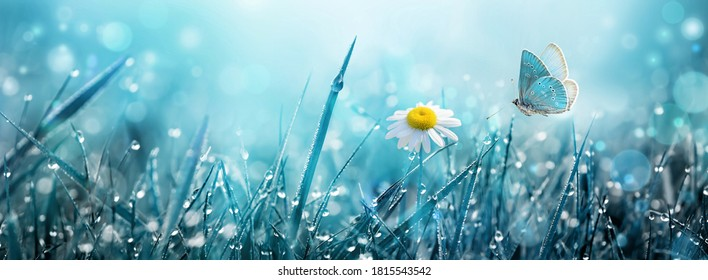 Wild chamomile flower and flying butterfly over morning grass with dew in the meadow.