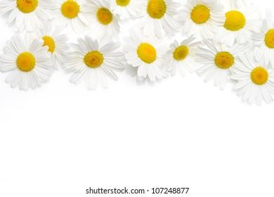 Wild chamomile. Isolated on white background