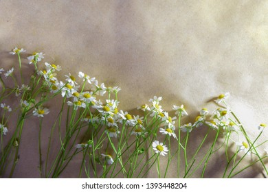 wild chamomile is laid out on paper, place for text