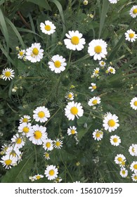 Wild chamomile on a natural green background, with leave and grass around the flower. Beautiful camomila flowers. Outdoor image with natural light without edition.