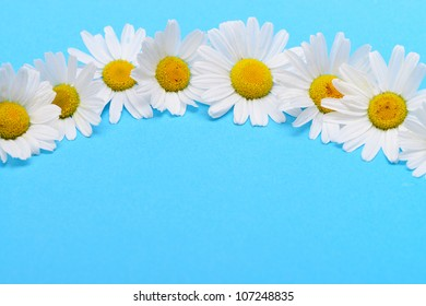 Wild chamomile. White flowers on a dark blue background