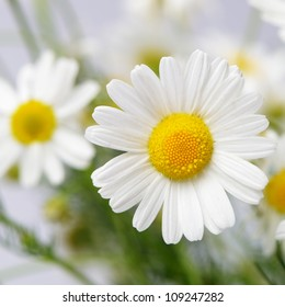 Wild chamomile. White flowers. Selective focus. Bokeh