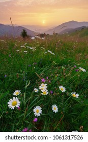 Wild chamomiles on mountains meadow at summer dawn.