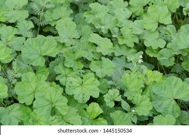 Wild cheeseweed or mallow (malva sylvestris) leaves