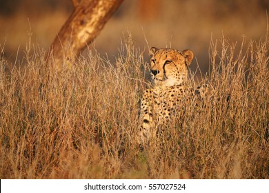 Wild Cheetah, Acinonyx jubatus, hidden in grass, monitors territory in the colorful evening light against blurred reddish background. Typical KwaZulu Natal's environment. South Africa.
