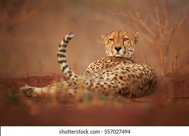 Divoký Gepard, Acinonyx jubatus, relaxační na načervenalé půdě, zírající přímo na kameru. Fotografie na úrovni terénu. Typické suché lesní prostředí KwaZulu Natal. Zimanga, Jižní Afrika.